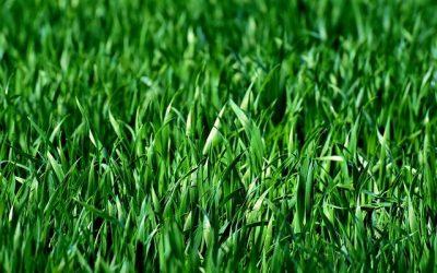 Uzgoj i njega zelenog travnjaka